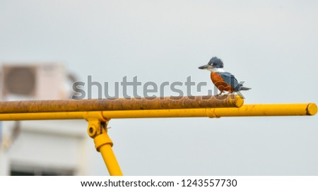 Ring Kingfisher bird (Megaceryle torquata) is a large, conspicuous and noisy bird.  This one sits on a canal gate bar and surveys water below for anything that moves.