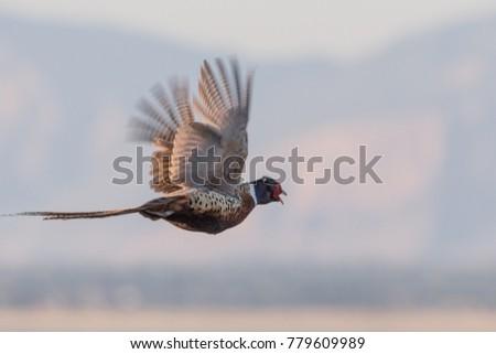 Ring-necked Pheasant flying #779609989