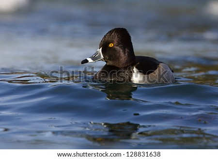 Ring-necked / Ringneck / Ring Neck Duck, Aythya collaris, swimming at the confluence of the Methow and Columbia River, Washington state.  Duck hunting the Pacific Northwest