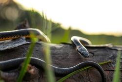 Ring-necked Snake on Log in Sunset