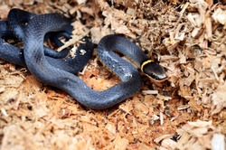 Ring-necked snake, or Ringneck snake, these snakes have one of the largest geographic ranges of any North American snake species.  They play an important role in the food web.