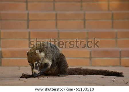 Ring-tailed Coati (Nasua nasua), a native mammal of Central and South America, acting as a scavanger while eating a cupcake dropped by a tourist.