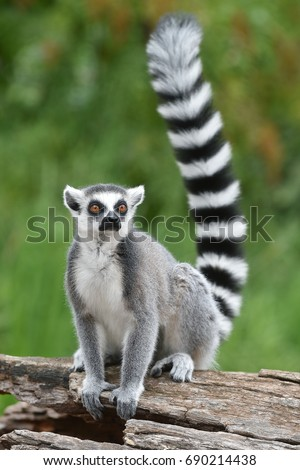 Ring-tailed lemur - Shutterstock ID 690214438