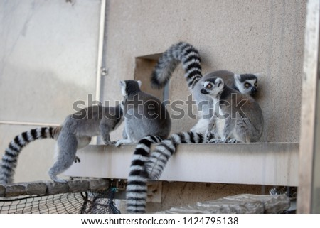 Ring-tailed lemur (a gregarious lemur with a gray coat, black rings around the eyes, and distinctive black-and-white banding on the tail.)