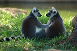 Ring-tailed lemur buddies are best friends.
