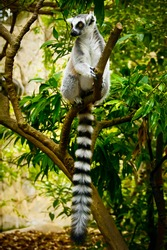 ring tailed lemur catta lives in Madagascar. black and white lemur with a long striped tail. rare kinds of lemurs in the tropic rainforest are close-up. exotic monkey in the jungle. primates in Africa