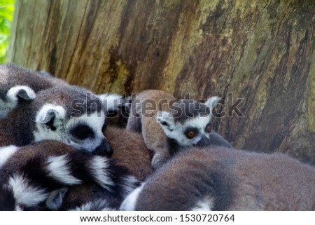 Ring tailed lemur family all sat outside together on the grass. Beautiful grey and white lemurs all huddled together outside by a tree with a cute baby lemur climbing on top of them all.