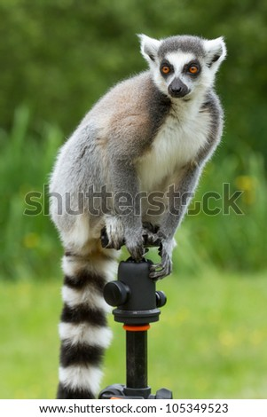 Ring-tailed lemur in captivity, sitting on a photographers tripod