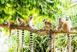 Ring-tailed Lemur in chiangmia THailand