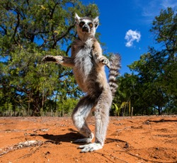 Ring-tailed lemur in Madagascar. The photo was taken from an unusual angle.