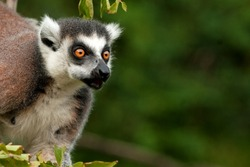 ring-tailed lemur, lemur catta