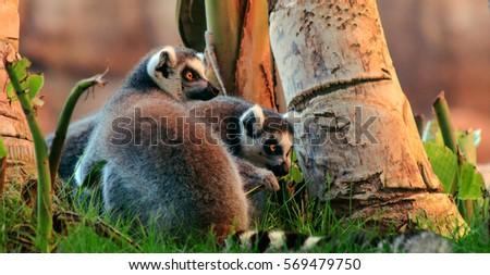 Ring-tailed Lemur (Lemur catta) #569479750