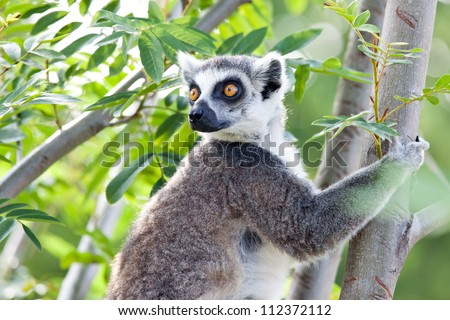 Ring-tailed lemur (Lemur catta): a clade of strepsirrhine primates endemic to the island of Madagascar.