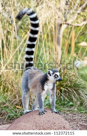 Ring-tailed lemur (Lemur catta): a clade of strepsirrhine primates endemic to the island of Madagascar.
