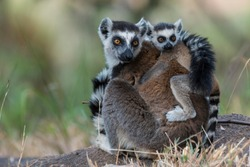 Ring-tailed Lemur (Lemur catta), adult with young on its back, on the ground, Adringitra Region, Madagascar