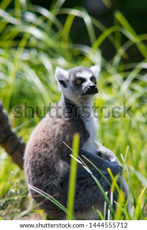 Ring-tailed lemur (Lemur catta) belongs to the order of primates, the suborder of the semi-monkey and comes from Madagascar.