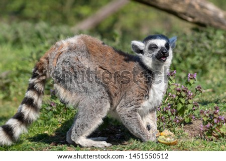 Ring-tailed lemur (Lemur catta) blinded by the sun
