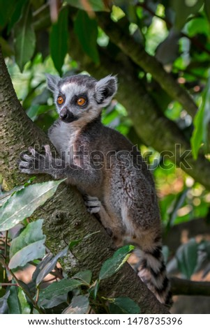Ring-tailed lemur (Lemur catta) climbing in tree in forest, primate native to Madagascar, Africa