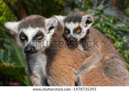 Ring-tailed lemur (Lemur catta) female with young on her back in forest, primate native to Madagascar, Africa
