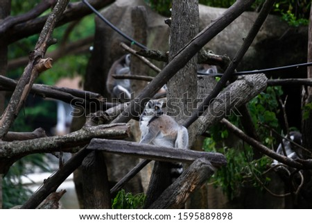 Ring tailed lemur (Lemur catta) -- Lemur catta, beautiful lemur from Southern Madagascar forests.