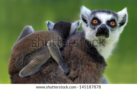 Ring-tailed lemur (Lemur catta) - Mother and child