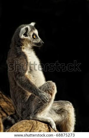 Ring-tailed Lemur (Lemur catta) portrait sitting on a trunk