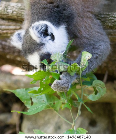 Ring-tailed lemur, lemur catta, searching for food, Madagascar, Africa