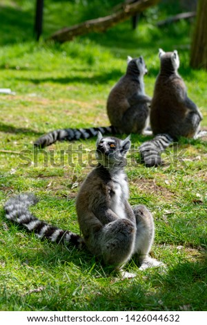 Ring-tailed lemur, lemur catta, sitting on green grass in zoo