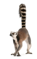 Ring-tailed lemur, Lemur catta, 7 years old, in front of white background
