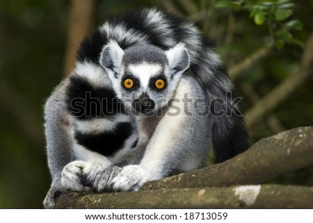 ring-tailed lemur looking straight ahead in forest