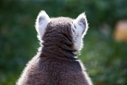 Ring-tailed lemur monkey. Mammal and mammals. Land world and fauna. Wildlife and zoology. Nature and animal photography.