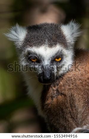 Ring-tailed lemur portrait (Lemur catta), Anja Reserve, Madagascar