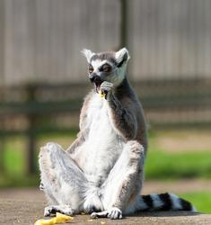 Ring tailed lemur sitting in the sun eating fruit.
