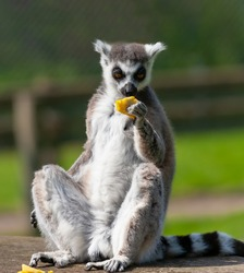 Ring tailed lemur sitting upright eating a piece of fruit.
