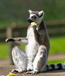 Ring tailed lemur sitting upright in the sun enjoying his fruit.