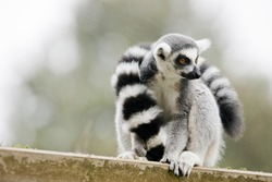 Ring-tailed lemur They are highly social living in large groups lead by a dominant female. Conservation status Endangered