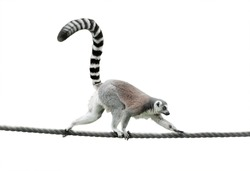 ring-tailed lemur walking on a rope isolated over a white background