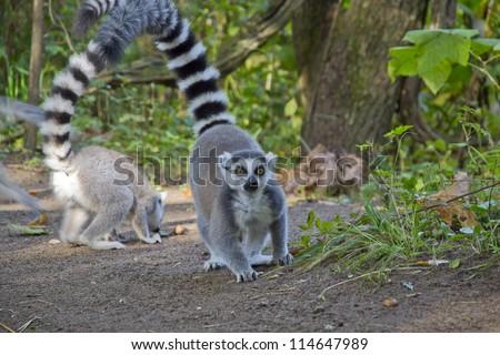 ring-tailed lemurin dutch Monkeypark
