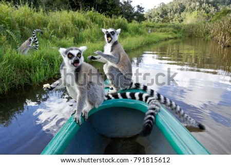 Ring-tailed lemurs eating bananas on bow of canoe, Lemurs Island, Madagascar