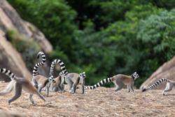 Ring-tailed lemurs family -Lemur catta in Madagascar
