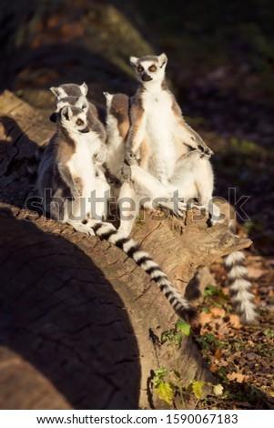 Ring-tailed lemurs family or Lemur catta