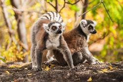Ring-tailed lemurs in Madagascar
