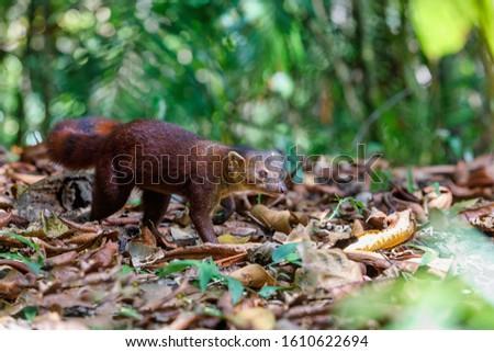 Ring-tailed mongoose, Galidia elegans, carnivoran native to Madagascar. Farankaraina. Madagascar Africa Wildlife and wilderness