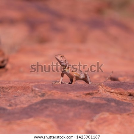 Ring-tailed or ring-tailed bicycle-dragon lizard on the rock at sunny day in Australia, Rim walk, #1425901187