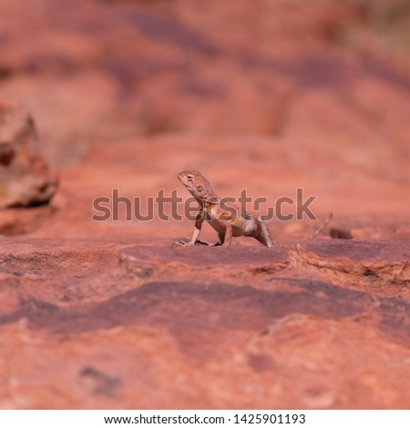 Ring-tailed or ring-tailed bicycle-dragon lizard on the rock at sunny day in Australia, Rim walk, #1425901193