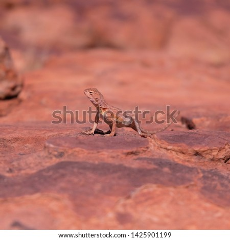 Ring-tailed or ring-tailed bicycle-dragon lizard on the rock at sunny day in Australia, Rim walk, #1425901199