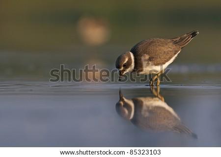 Ringed plover in lake - stock photo