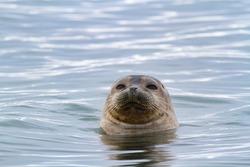 Ringed Seal Svalbard Marine Mammal Arctic Ice Water Seals