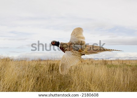 Ringneck Pheasant flying in the field.