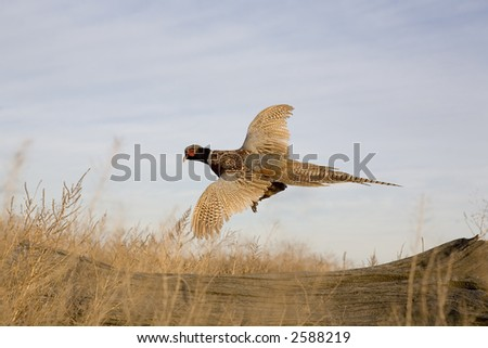 Ringneck Pheasant flying in the field